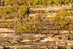 Textura de madeira de uma árvore e de um musgo podres imagem de stock royalty free