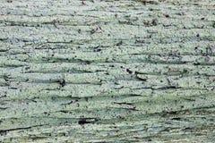 Textura de madera cubierta de musgo de la corteza del viejo fondo de madera natural imagen de archivo