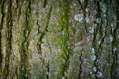 Textura de madera de la corteza Foto de archivo