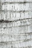 Textura de madera de la corteza, fondo (de la palmera) Foto de archivo libre de regalías
