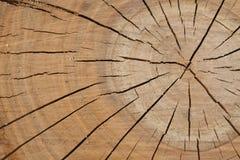 Textura de madera del árbol, ciruelo-árbol Imagenes de archivo