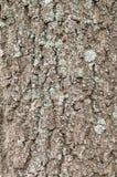 Textura de madera del árbol cortado Fotografía de archivo libre de regalías