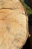 Textura de madera del árbol de Cutted Imagenes de archivo