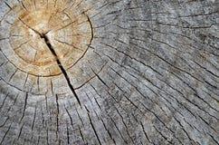 Textura de madera del árbol de Cutted Imagen de archivo libre de regalías
