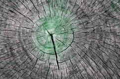 Textura de madera del árbol de Cutted Fotos de archivo