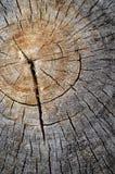 Textura de madera del árbol de Cutted Fotografía de archivo