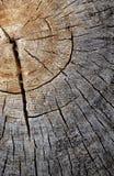 Textura de madera del árbol de Cutted Foto de archivo libre de regalías