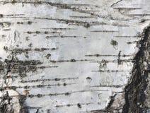 Textura de madera del árbol del documento de información de la textura de la corteza de abedul del primer natural/de abedul Imagen de archivo