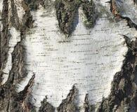 Textura de madera del árbol del documento de información de la textura de la corteza de abedul del primer natural/de abedul Imagen de archivo libre de regalías