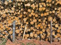 Textura de madera del eucalipto del fuego Fotografía de archivo libre de regalías