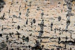 Textura de madera del tronco de árbol cortado, primer 6 Fotografía de archivo libre de regalías