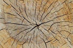 Textura de madera del tronco de árbol cutted Imagen de archivo libre de regalías