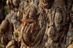 Textura de madera Gnarly Fotos de archivo libres de regalías