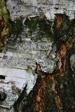 Textura de madera de la corteza del abedul Betula Pendula Imagen de archivo libre de regalías