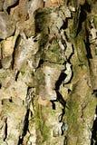 Textura de madera de la corteza del abedul negro asiático Betula Dahurica del árbol hojoso Imagen de archivo libre de regalías