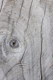 Textura de madera, tocón de árbol seco viejo seccionado transversalmente Fotos de archivo libres de regalías