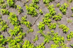 Textura de pedra velha da parede de tijolo contra a folha verde da planta do rastejamento Imagem de Stock