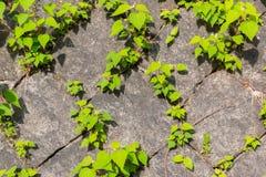 Textura de pedra velha da parede de tijolo contra a folha verde da planta do rastejamento Foto de Stock