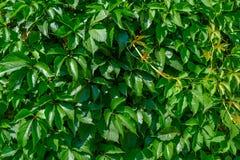 Textura de plantas que suben verdes en la pared fotos de archivo libres de regalías