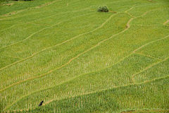 A textura de terraços do arroz coloca em Tailândia do norte fotografia de stock