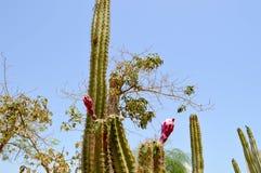 A textura de um cacto bonito forte fresco quente mexicano natural espinhoso verde do deserto com espinhos e areia O fundo imagens de stock royalty free