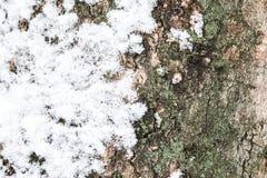 Textura de um coverer da crosta da árvore com neve Fotografia de Stock Royalty Free