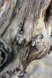 A textura de uma árvore Imagens de Stock