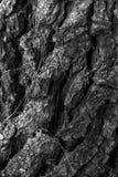 Textura de uma casca velha do pinho Foto de Stock