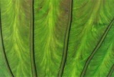 Textura de uma folha Fotos de Stock Royalty Free