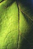 A textura de uma folha nenhuns da uva 2 Fotografia de Stock