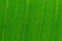Textura de uma folha tropical verde fresca da banana Close-up Fundo para o projeto Foto de Stock