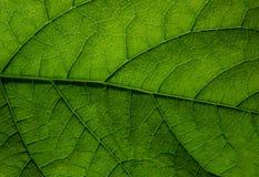 Textura de uma folha verde Fotografia de Stock