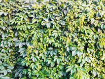 Textura de uma parede verde da hera fotos de stock