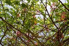 A textura de uma planta bonita da árvore com ramos com as flores incomuns cor-de-rosa com pétalas e as folhas verdes frescas em E foto de stock