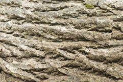 Textura de un árbol, fondo Foto de archivo libre de regalías