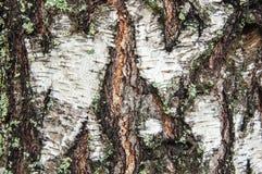 Textura de un tronco de árbol de un abedul Fotos de archivo