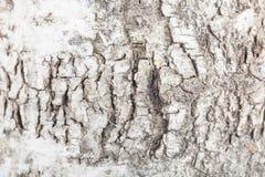 Textura de una corteza de abedul, borrosa alrededor de los bordes Imagen de archivo libre de regalías