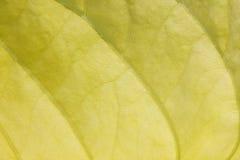 Textura de una hoja amarilla Fotos de archivo libres de regalías