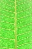 Textura de una hoja verde Imágenes de archivo libres de regalías