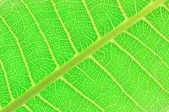 Textura de una hoja verde Imagen de archivo libre de regalías