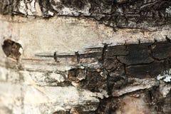 Textura del árbol de abedul Imagen de archivo libre de regalías
