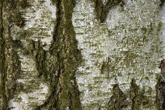 Textura del árbol de abedul Tinte verde Fondo Foto de archivo