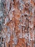 Textura del árbol de corteza Imagen de archivo libre de regalías
