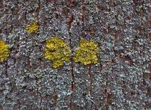 Textura del árbol de corteza con el musgo amarillo y azul foto de archivo libre de regalías