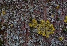 Textura del árbol de corteza con el musgo amarillo y azul imagen de archivo libre de regalías