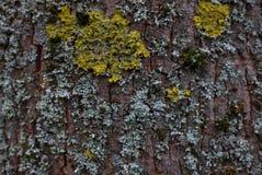 Textura del árbol de corteza con el musgo amarillo y azul fotografía de archivo
