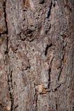 Textura del árbol de pino Fotografía de archivo