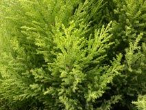 Textura del árbol de pino Fotografía de archivo libre de regalías