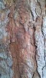 Textura del árbol de pino Fotos de archivo