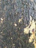 Textura del árbol de tamarindo Foto de archivo libre de regalías